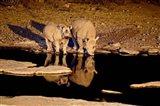 Namibia, Etosha NP, Black Rhino wildlife, waterhole Art Print