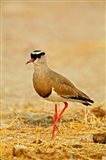 Africa, Namibia. Crowned Plover or Lapwing Art Print