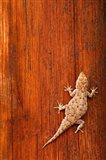 Tokay Gecko lizard, Striated Wood, Africa Art Print