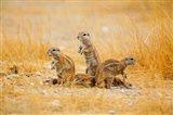 Namibia, Etosha NP. Cape Ground Squirrel Art Print