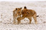 Africa, Two lion cubs play fighting on the Etosha Pan Art Print