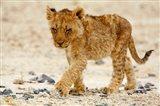 Namibia, Etosha NP. Lion, Stoney ground Art Print