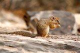 Africa. Tree Squirrel feeding on the ground Art Print