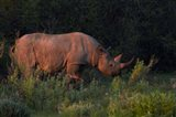 Black rhinoceros Diceros bicornis, Etosha NP, Namibia, Africa. Art Print