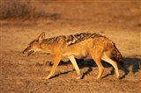 Black-backed jackal, Canis mesomelas, Etosha NP, Namibia, Africa. Art Print