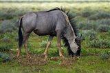 Blue wildebeest, Etosha National Park, Namibia Art Print