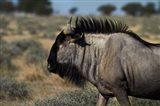 Blue wildebeest, Connochaetes taurinus, Etosha NP, Namibia, Africa. Art Print