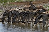 Burchells zebra at Okaukuejo waterhole, Etosha NP, Namibia, Africa. Art Print