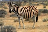 Burchells zebra, burchellii, Etosha NP, Namibia, Africa. Art Print