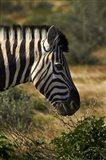 Zebra's head, Namibia, Africa. Art Print