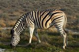 Zebra grazing, burchellii, Etosha NP, Namibia, Africa. Art Print