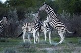 Burchell's zebra fighting, Etosha National Park, Namibia Art Print