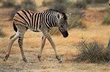 Burchells zebra foal, burchellii, Etosha NP, Namibia, Africa. Art Print