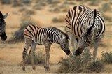 Burchell's zebra foal and mother, Etosha National Park, Namibia Art Print