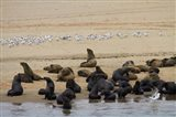 Cape Fur Seal colony at Pelican Point, Walvis Bay, Namibia, Africa. Art Print