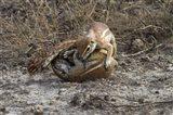 Cape ground squirrels fighting, Etosha NP, Namibia, Africa. Art Print