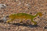 Chameleon, Etosha National Park, Namibia Art Print