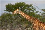 Giraffe, Namibia Art Print
