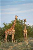 Giraffe, Etosha National Park, Namibia Art Print