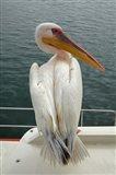 Great White Pelican, Walvis Bay, Namibia, Africa. Art Print