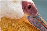 Great White Pelican, Walvis Bay, Namibia Art Print