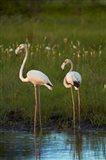 Greater Flamingoes, Nyae Nyae Conservancy, near Tsumkwe, Namibia Art Print