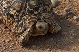 Leopard tortoise, Stigmochelys pardalis, Etosha NP, Namibia, Africa. Art Print