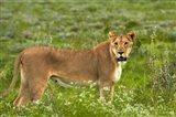 Lioness, Etosha National Park, Namibia Art Print