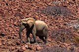 Africa, Namibia, Puros. Desert dwelling elephants of Kaokoland. Art Print