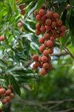 Tropical Litchi Fruit On Tree, Reunion Island, French Overseas Territory Art Print