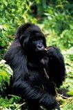 Mountain Gorilla, Virunga Volcanoes National Park, Rwanda Art Print