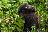 Gorilla carrying baby, Volcanoes National Park, Rwanda Art Print