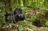 Close up of Mountain gorillas, Volcanoes National Park, Rwanda. Art Print