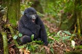 Mountain gorilla yawning, Volcanoes National Park, Rwanda Art Print