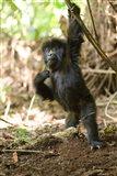 Rwanda, Mountain gorilla, volcanoes national park Art Print