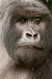 Close up of a Mountain gorilla, volcanoes national park, Rwanda Art Print