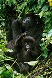 Mountain Gorillas, Parc N. Volcans, Rwanda Art Print