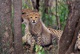 Cheetah Cubs, Phinda Preserve, South Africa Art Print