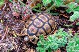 Angulate Tortoise in Flowers, South Africa Art Print