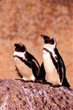 Jackass Penguins, Simons Town, South Africa Art Print
