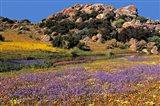 Wildflowers Flourish, Namaqualand, Northern Cape Province, South Africa Art Print