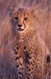 Cheetah, Phinda Reserve, South Africa Art Print
