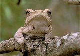 Tree Frog, Phinda Reserve, South Africa Art Print