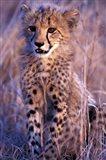 South Africa, Phinda Reserve. King Cheetah Art Print