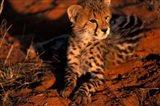 South Africa, Kalahari Desert. King Cheetah Art Print