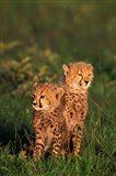 Cheetah cubs, Kenya Art Print