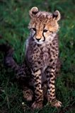 Africa, Kenya, Masai Mara Game Reserve. Cheetah Cub Art Print