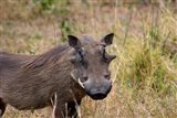 South Africa, KwaZulu Natal, warthog wildlife Art Print