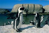 African Penguins, South Africa Art Print