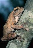 Grey Frog, Kruger NP, South Africa Art Print